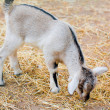 Goatling - Stock Photo