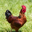 Rhode Island Red Rooster - Stock Photo