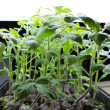 Stock Photo: Organic Tomato Seedlings