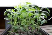 Organic Tomato Seedlings — Stock Photo