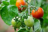 Tomates en ramas — Foto de Stock