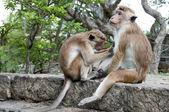 Un mono otra limpieza — Foto de Stock