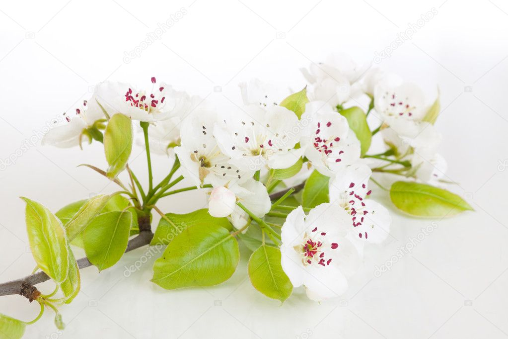 Fresh, blooming tree in spring with white flowers isolated on white — Stock Photo #5410700