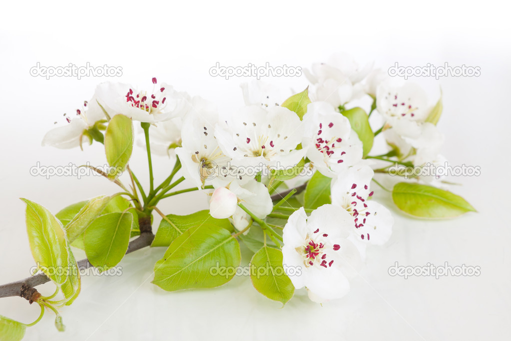 Fresh, blooming tree in spring with white flowers isolated on white  Photo #5410700