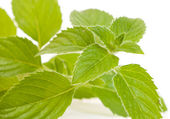 Mentha piperita — Stock Photo