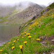 Yellow wild flower on the mountain lake coast — Stock Photo