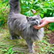 Stock Photo: Beautiful gray cat outdoor