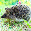 Hedgehog in nature - Stock Photo