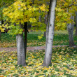 Maple trees in autumn — Stock Photo