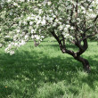 Florescence of beautiful apple trees in springtime — Stock Photo