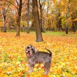 Beautiful mini schnauzer dog in autumnal park — Stock Photo