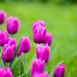 Blooming tulips in springtime. Shallow DOF — Stock Photo