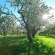 Beautiful blooming apple trees in spring park - Stock Photo