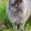 Beautiful gray cat with yellow eyes - Stock Photo