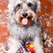 Royalty-Free Stock Photo: Funny active mini schnauzer isolated over colorful red carpet