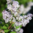 Blooming lilac branches in springtime - Stock Photo