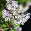 Blooming lilac branches in springtime — Stock Photo