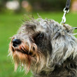 Funny active mini schnauzer in nature - Stock Photo