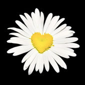 Closeup of daisy with heart over black — Stock Photo