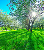 Beautiful blooming apple trees in spring park — Stock Photo