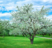 Blooming apple trees garden in overcast day — Stock Photo