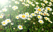 White Daisy Flowers on the Summer Meadow in Bright Sunshine — Stock Photo