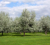 Rural blossoming landscape in springtime — Stock Photo