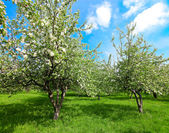 Blooming apple trees and blue sky in spring park — Stock Photo