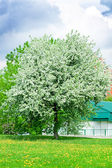 Giardino fiorito di mela alberi in primavera — Foto Stock