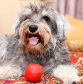 Funny active mini schnauzer isolated over colorful red carpet — Stock Photo