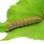 Caterpillar on a grape leaf. — Stock Photo
