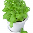 Basil in pot isolated — Stock Photo