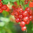 Fresh red currant — Stock Photo
