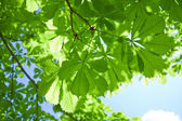 Chestnut tree leaves — Stock Photo