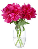 Peony in vase isolated — Stock Photo