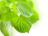 Fresh green leaves isolated — Stock Photo