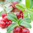 Fresh cowberry — Stock Photo #6700029