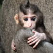Monkey baby (Macaca fascicularis). Bali, Indonesia. — Stock Photo