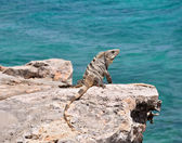 Iguana on the rocks. Mexico — Stock Photo