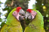 A couple of Great Green Macaws — Stock Photo