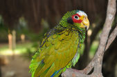 White-fronted Amazon (Amazona Albifrons) — Stock Photo