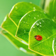 Ladybug on a fresh green leaves - Foto Stock