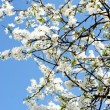 Stock Photo: Beautiful spring tree flowers