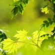 Picture of a green leaves over abstract blurred background - Foto de Stock