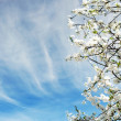 Beautiful spring tree flowers over blue sky - Stock Photo