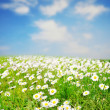 Daisy field over blue sky — Stock Photo
