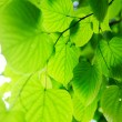 Stock Photo: Picture of a green leaves
