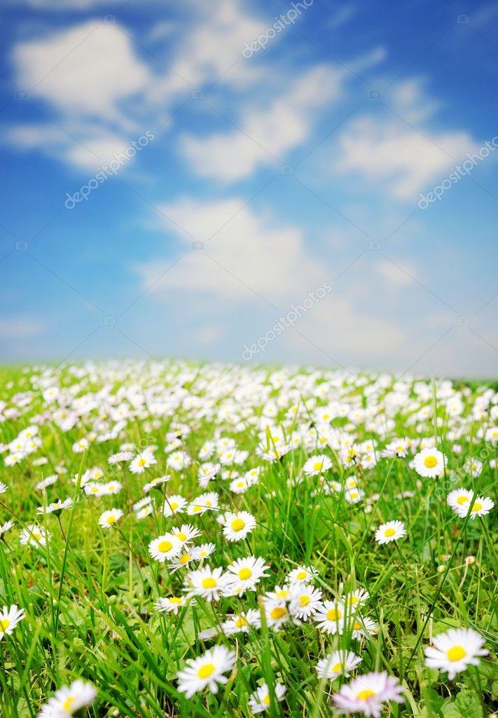 daisy field mountain sky - photo #5
