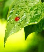 Ladybug on a fresh green leaves — Stock Photo