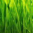 Fresh green grass background — Foto Stock
